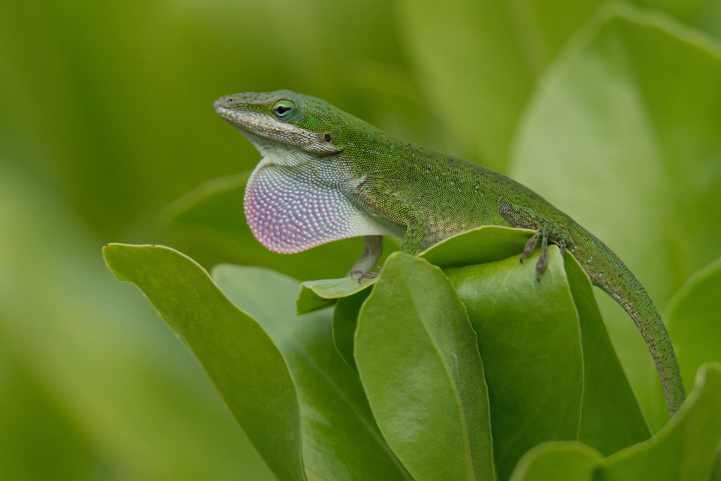 """""""Green"""", Kauai"""