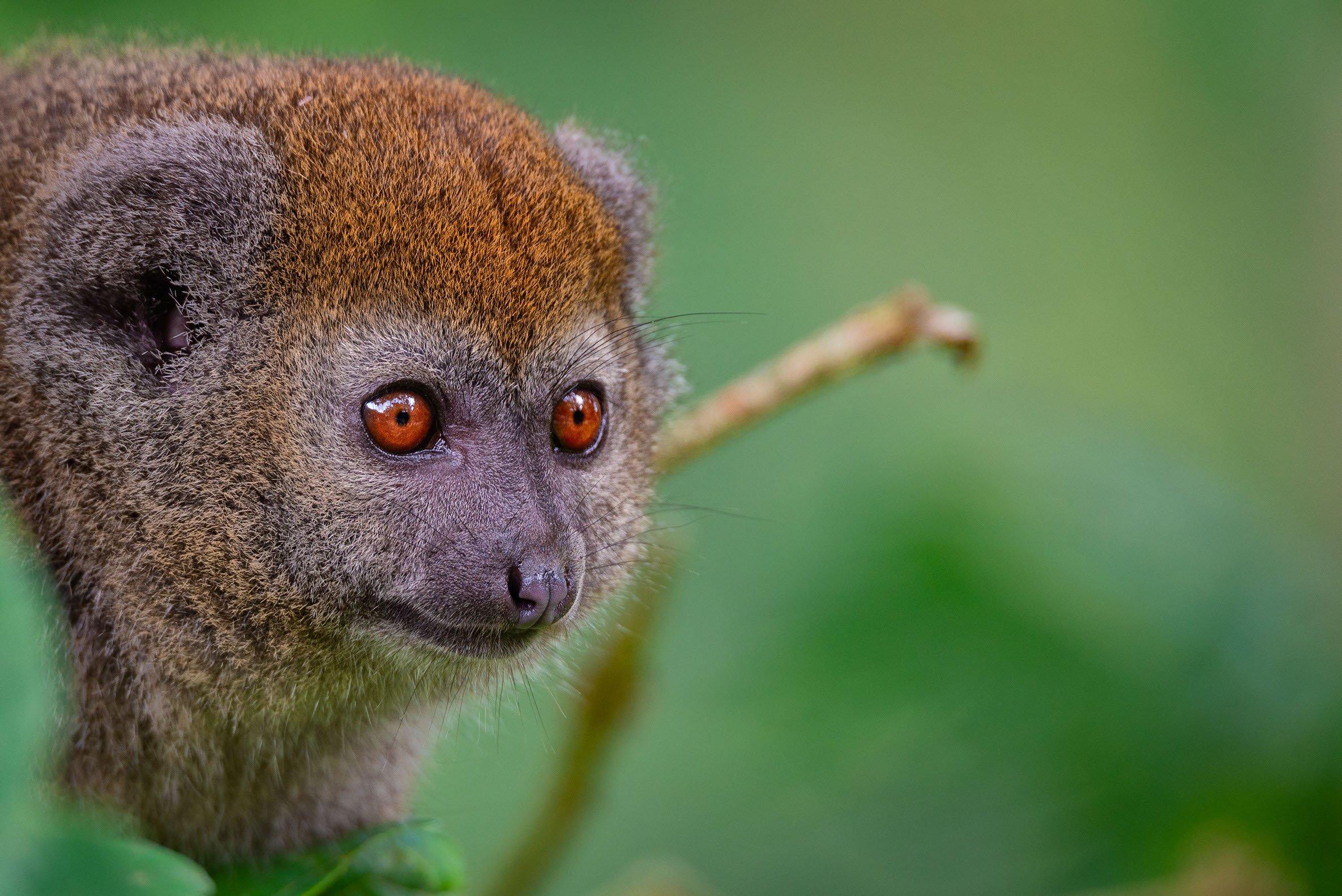 "★ ""Lemur"", Jersey"